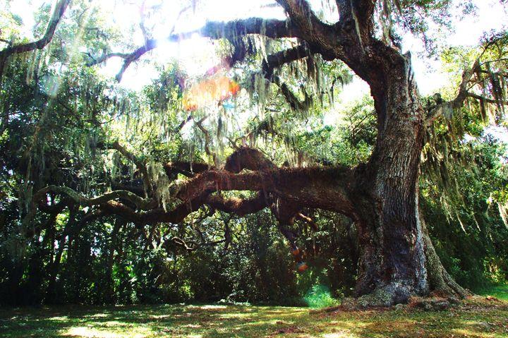 Oak Memories - Charlotte Marie