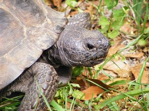 Hungry Gopher Tortoise