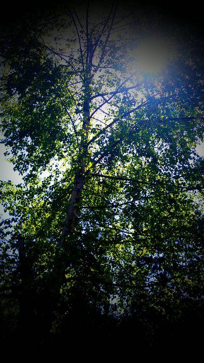 Sun through the Birch - Hazel Wonder