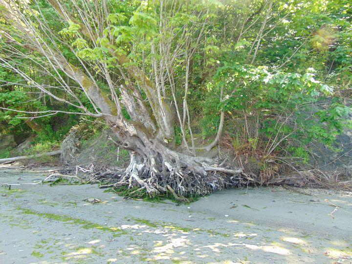 Beach Tree - Hazel Wonder
