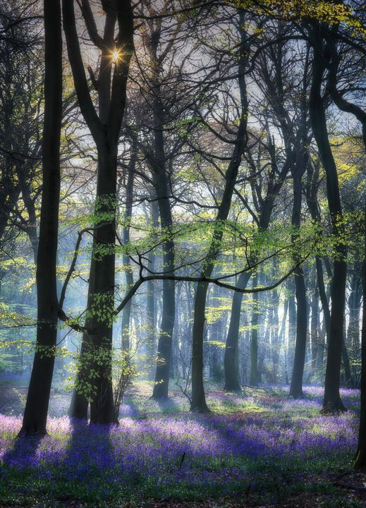 Morning Bluebells - Ceri David Jones