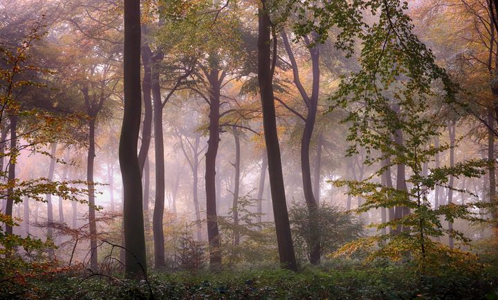Misty Beech Woodlands - Ceri David Jones