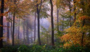 Foggy Autumn Woodlands