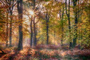 Autumn Beech Woodlands