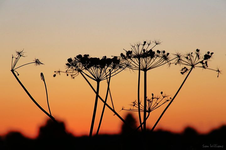Cow Parsley at Sunset - Artypix Sam Williams