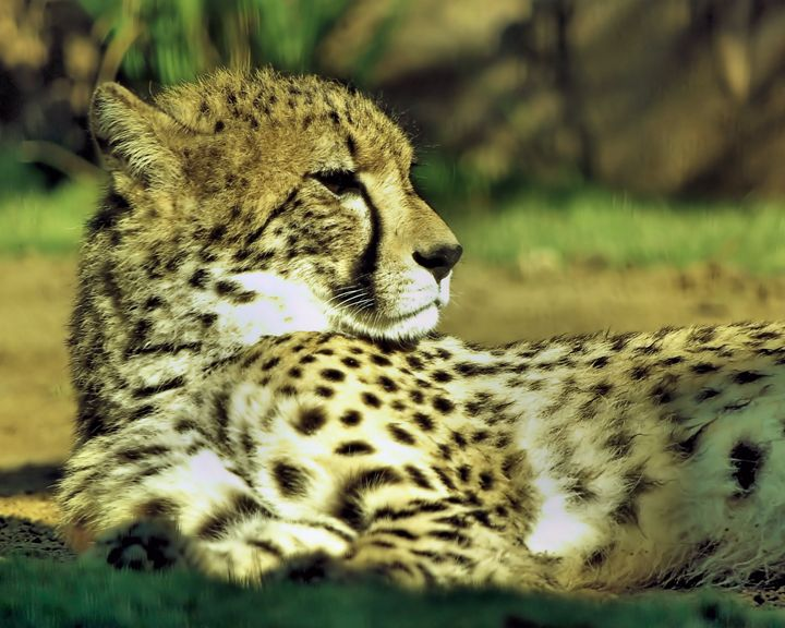 Cheetah - GullPhoto Art