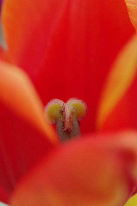 Tulips 9 - H2C2