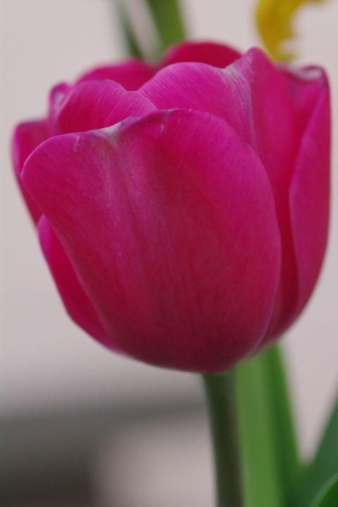 Tulips 14 - H2C2