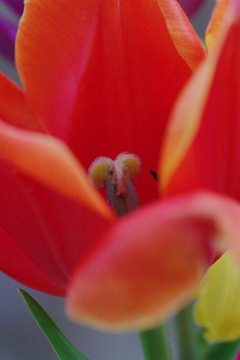 Tulips 5 - H2C2