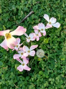 Pink Dogwood and clovers