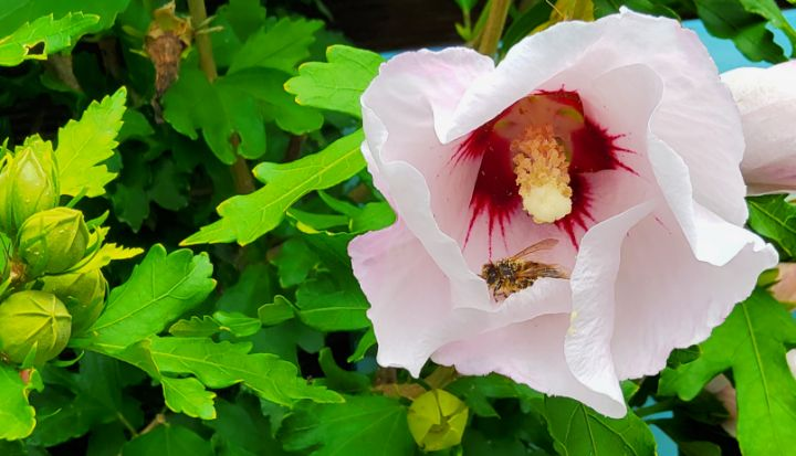 Hibiscus with a busy bee 01 - Heijdi's fantastic painted World