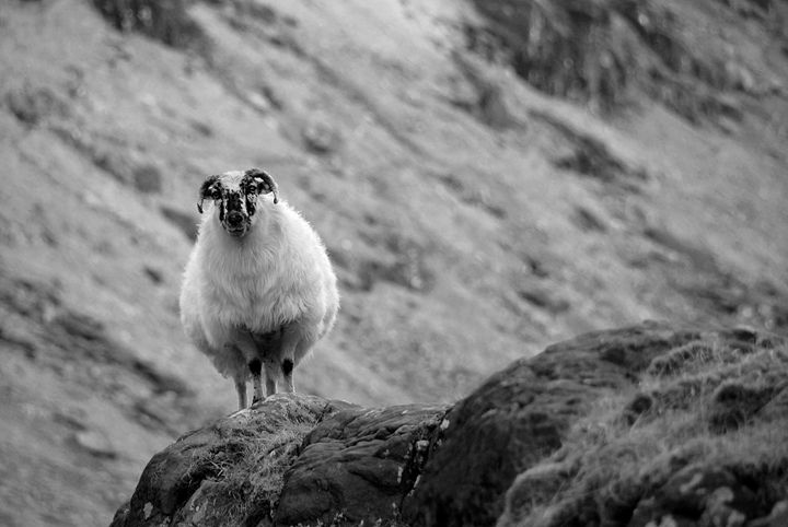Irish Mountain Sheep - Conor Lynch Photography