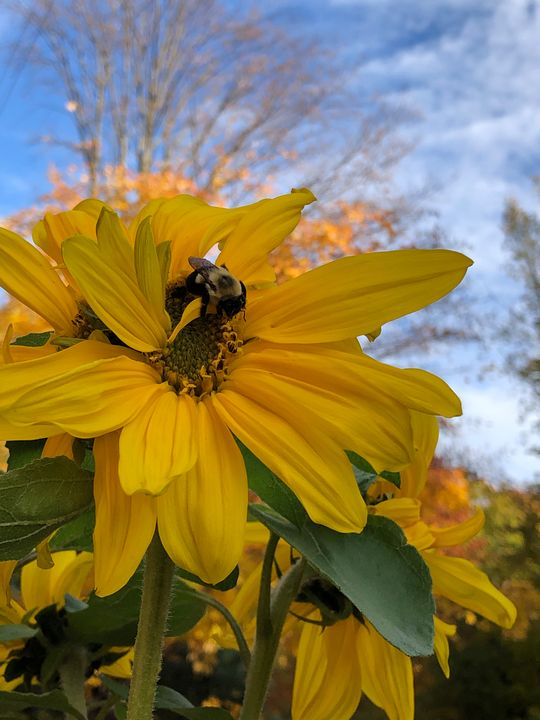 Bumblebee on a Sunflower - Torch Lake Glass