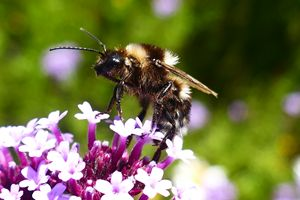 New Zealand Bumble Bee