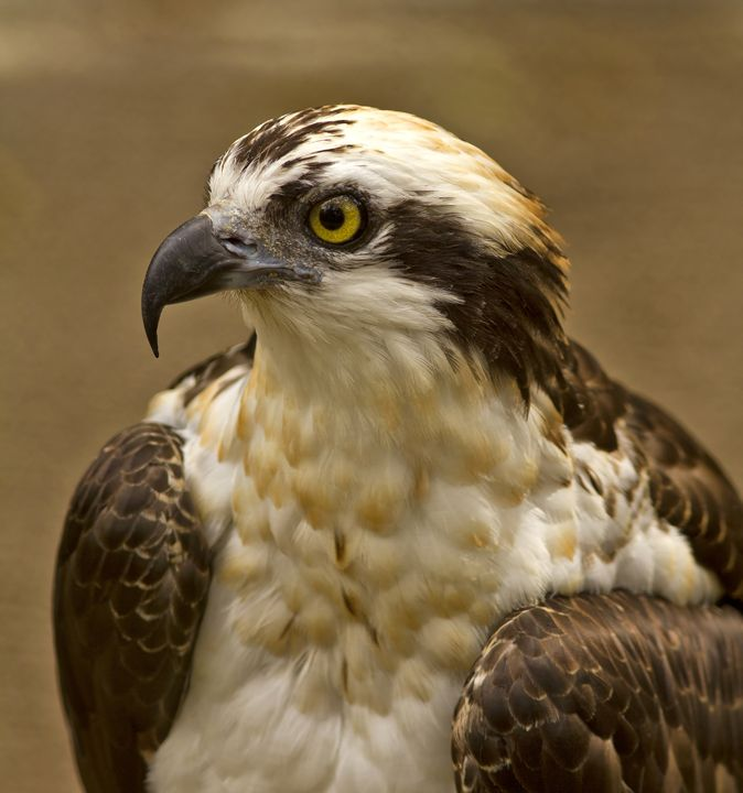 Osprey Portrait - Anne Rodkin Photography