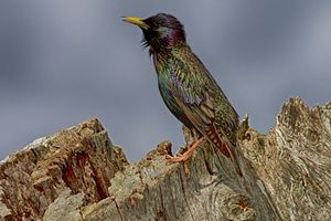 Starling In Breeding Plumage