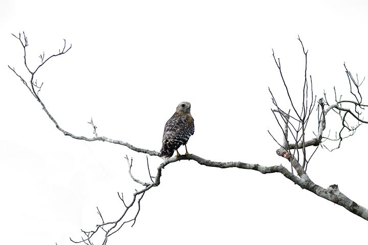 Red Shouldered Hawk - Anne Rodkin Photography