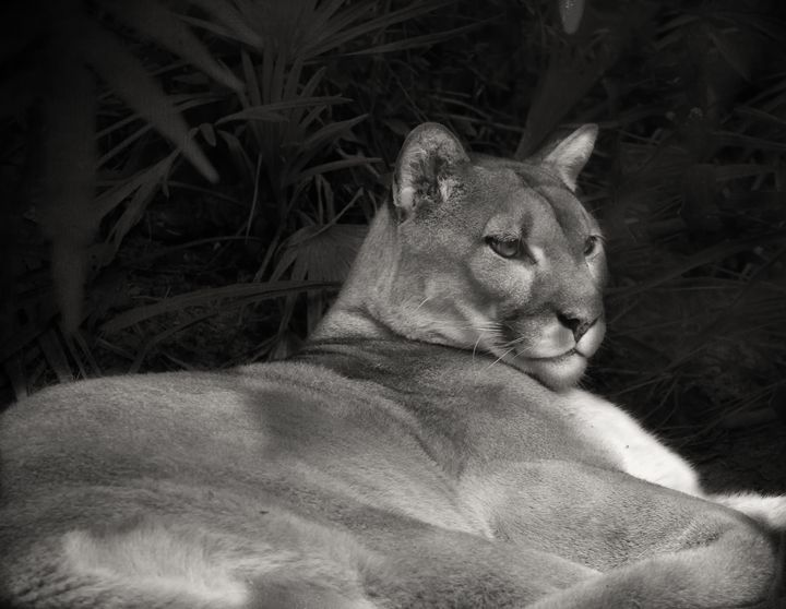 Endangered Florida Panther - Anne Rodkin Photography