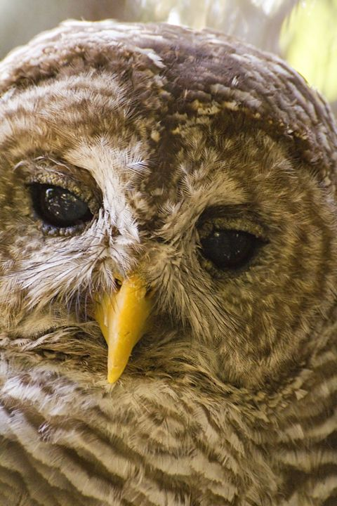 Barred Owl Portrait - Anne Rodkin Photography
