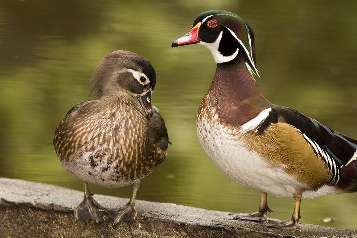 Wood Ducks Two - Anne Rodkin Photography