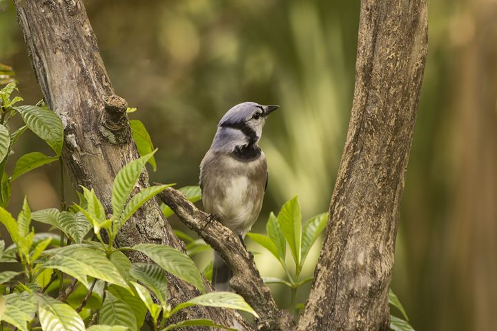Bluejay in Fork of Tree - Anne Rodkin Photography