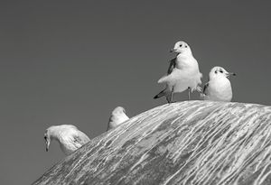 The meeting of the seagulls