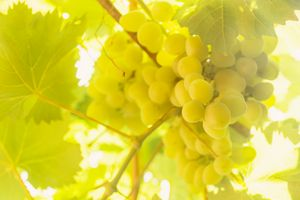 Brush white ripe grapes hanging in t