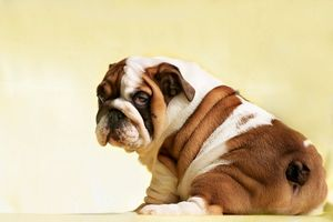 Cute puppy of English Bulldog looks