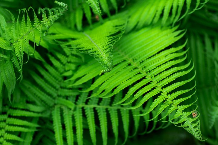 Beautyful young ferns leaves green - Forisana