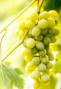 Brush white ripe grapes hanging