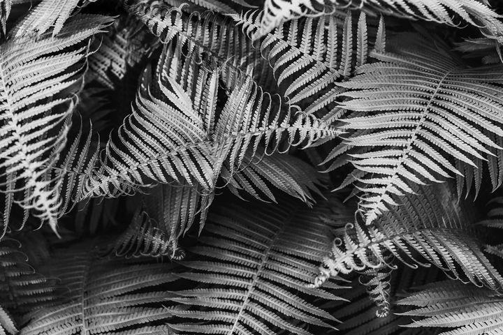 Beautyful young ferns leaves bw foli - Forisana
