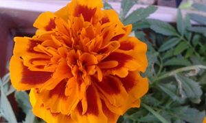 priceless Marigold
