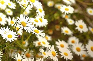 Camomile flowers in the wild - Chandra