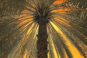 Infrared false colour of a date palm