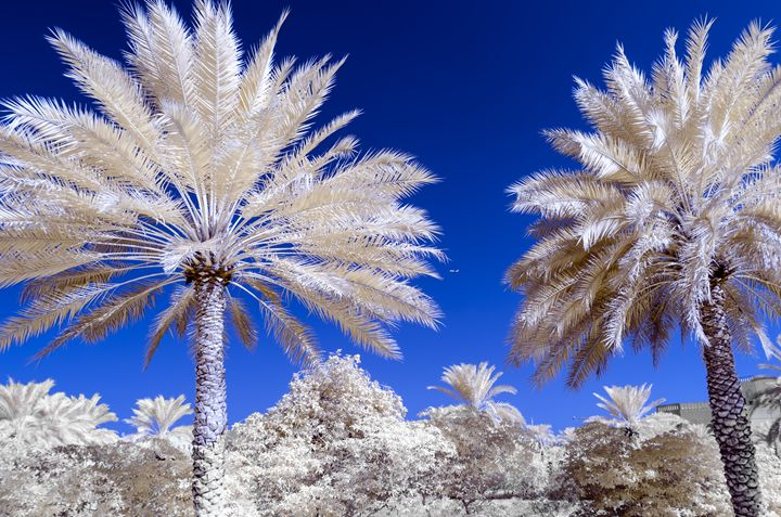 Infra red photo of date palms - Chandra
