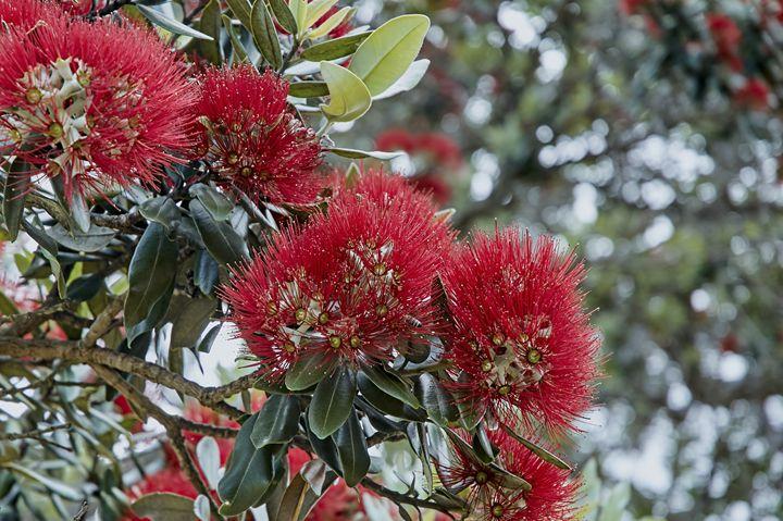 Pohutukawa flowers - Chandra