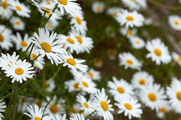 Wild chamomile flowers - Chandra
