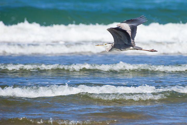 Heron in flight - Chandra