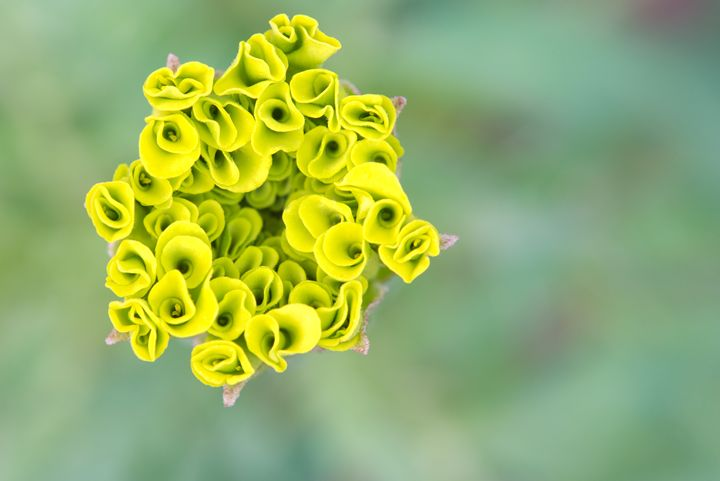 Yellow marigold bud - Chandra