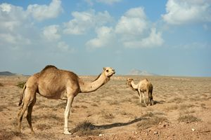 Camel in a group of 3 - Chandra