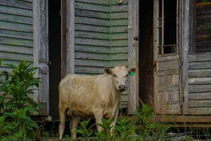 Bovine Debutante