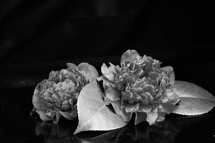 Camellia - Light & Reason Photos