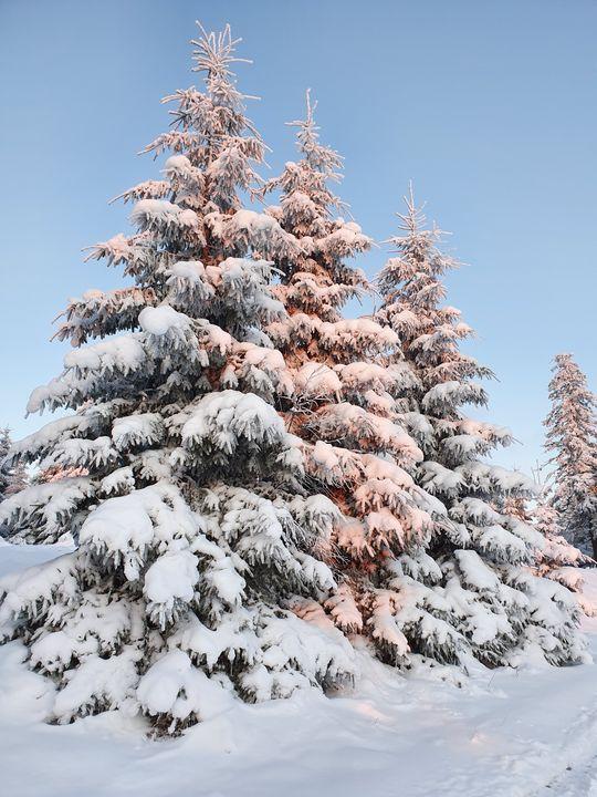 Snowy trees - Noemi K