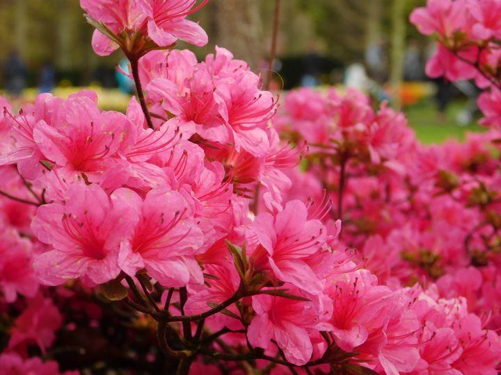 Cherry blossom - Noemi K