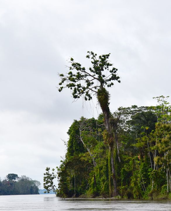 Tree King - Thebert Photography