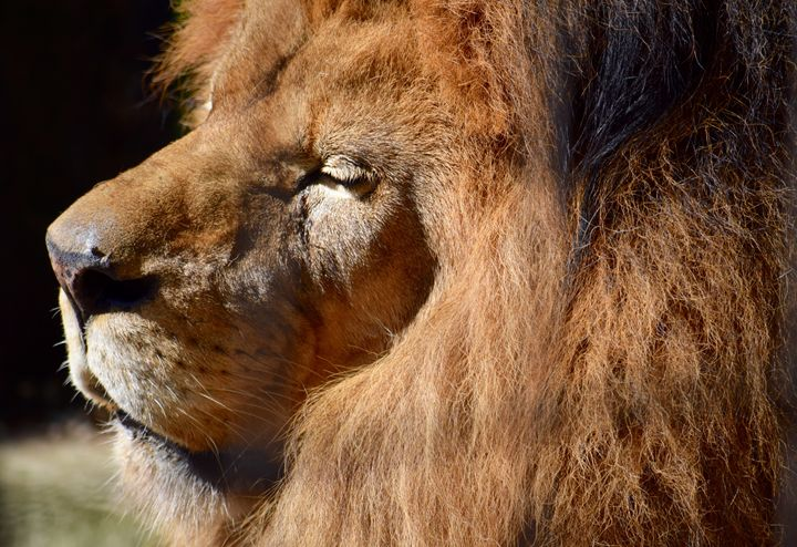 King of the Jungle - Thebert Photography