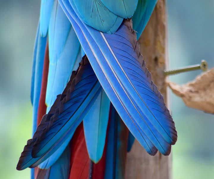Parrot Tail - Thebert Photography