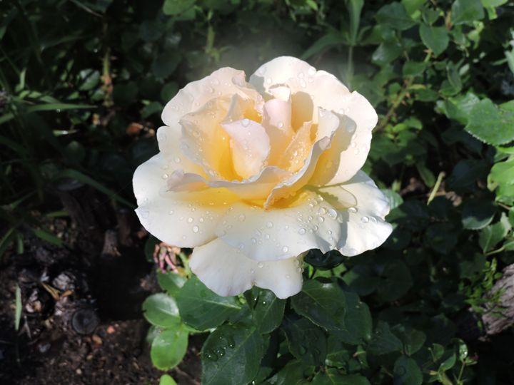 White Rose - Mariah W. Photography
