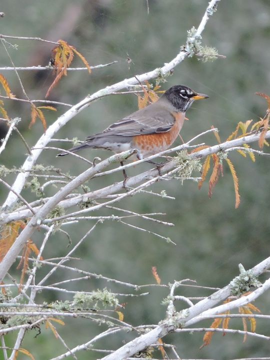 Male American Robin - Mariah W. Photography
