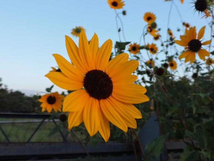 Sunflower - Mariah W. Photography